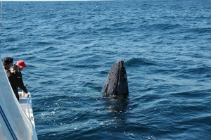whale watching off Narooma with Narooma Charters