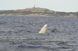 Whale Watching Narooma Charters